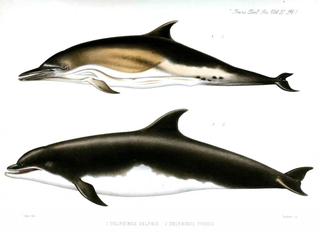 Animal - Sea mammal - Dolphins