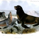Animal - Sea mammal - Seal