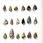 Animal - Seashell - Striped 1