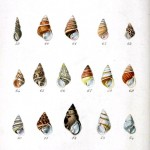 Animal - Seashell - Striped 3