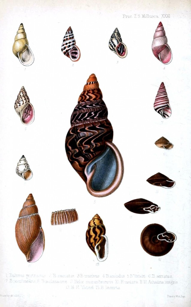 Animal - Seashell - Striped 5