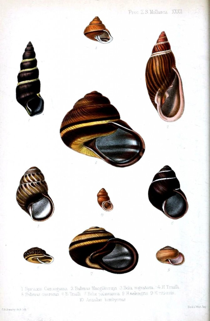 Animal - Seashell - Striped 6