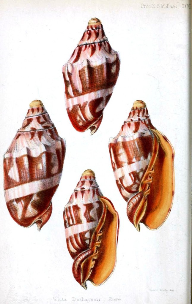 Animal - Seashell - Striped Red