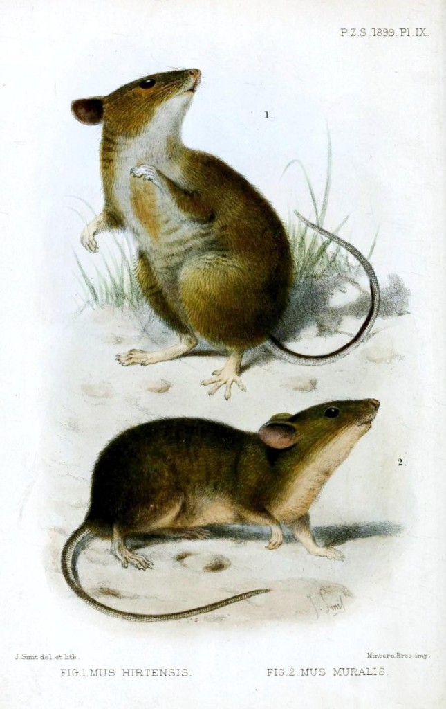 Animal - Woodland - Field mice