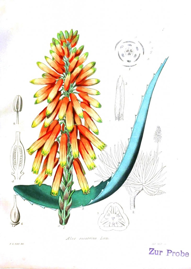 Botanical - Aloe