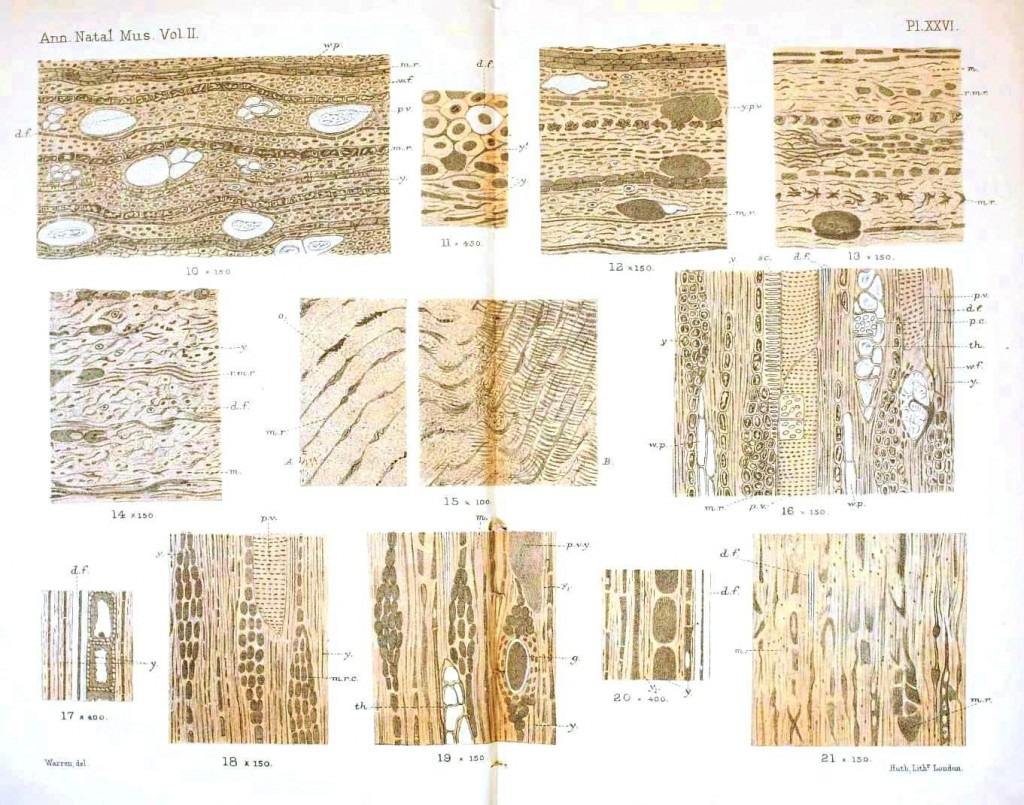 Botanical - Anatomy - Fossil wood cells 2
