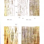 Botanical - Anatomy - Fossil wood cells 3