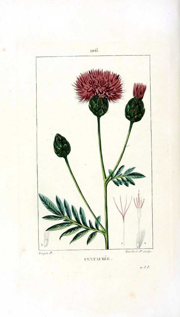 Botanical - Flower - Artichoke thistle