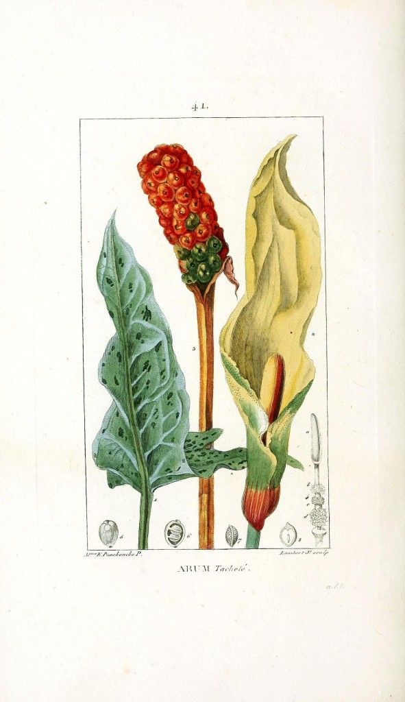 Botanical - Flower - Arum