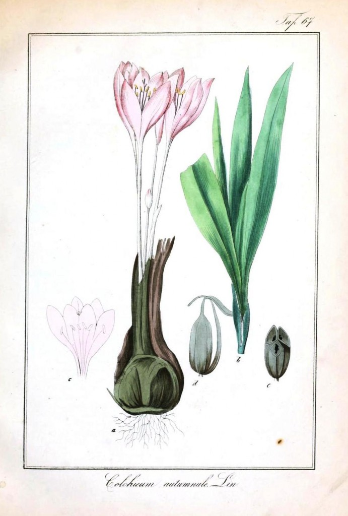 Botanical - Flower - Crocus