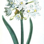 Botanical - Flower - Italian narcissis