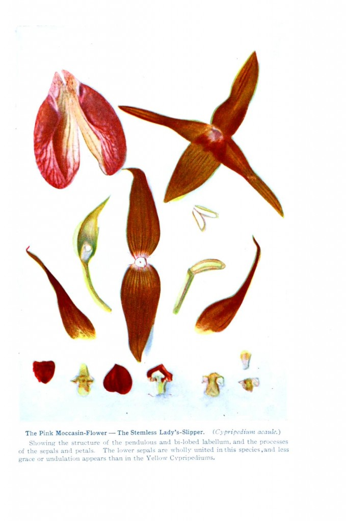 Botanical - Flower - Orchid - Anatomy 6