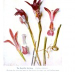 Botanical - Flower - Orchid - Anatomy 9