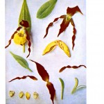 Botanical - Flower - Orchid - Anatomy