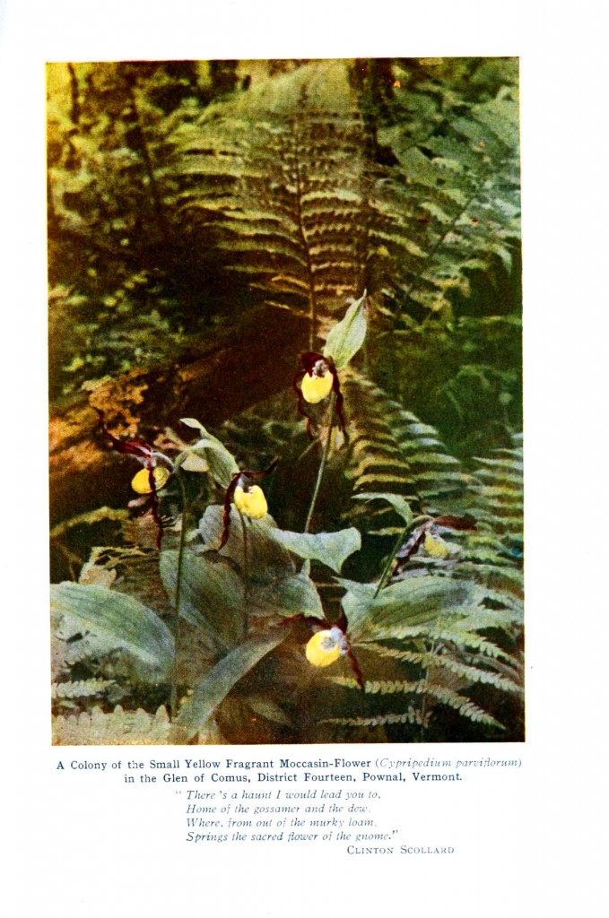 Botanical - Flower - Orchid - Yellow mocassin