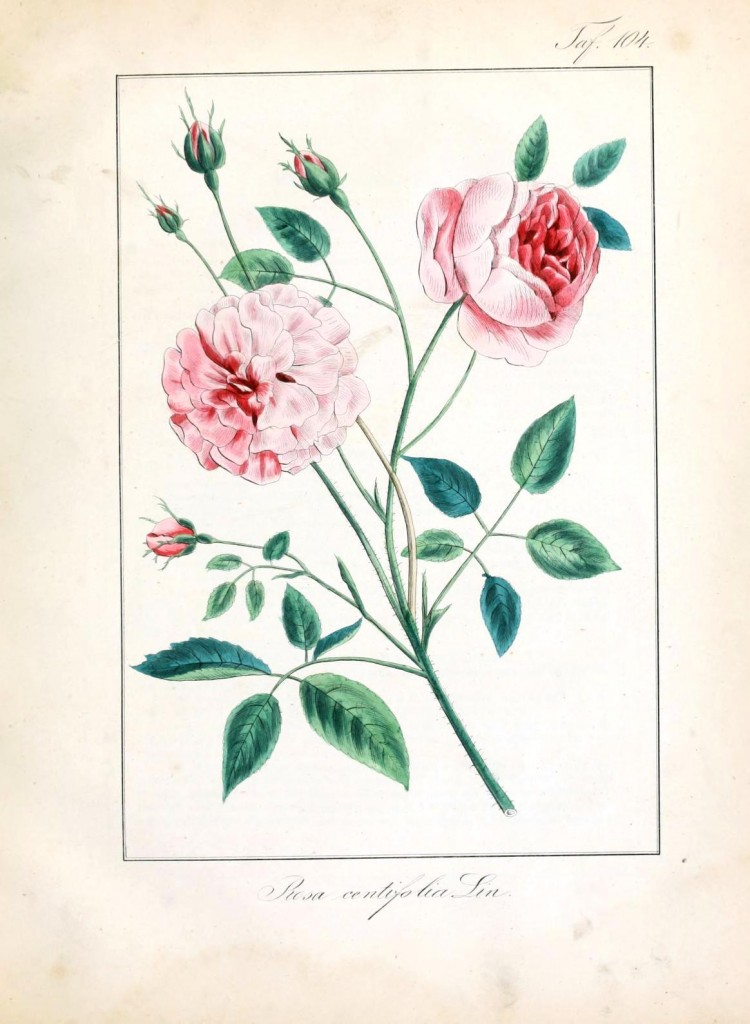 Botanical - Flower - Rose - Pink cultivar