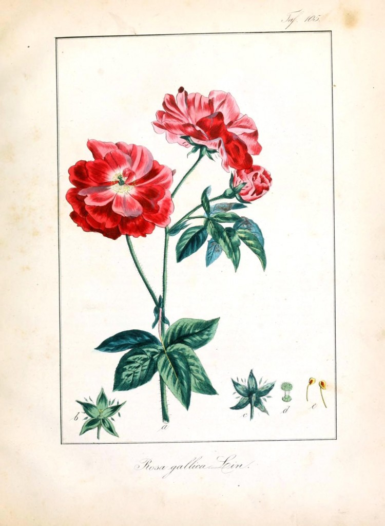 Botanical - Flower - Rose - Red cultivar