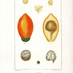 Botanical - Fruit - Arec