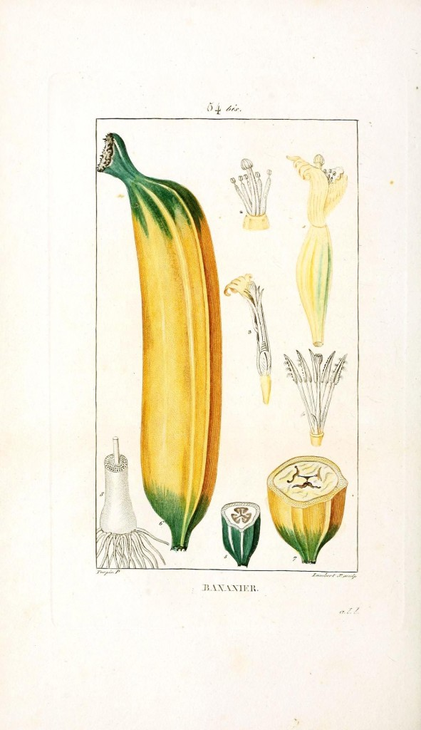 Botanical - Fruit - Banana