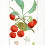 Botanical - Fruit - Cherry