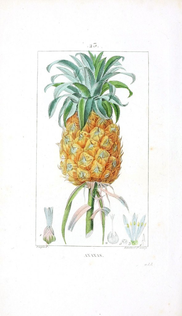 Botanical - Fruit - Pineapple