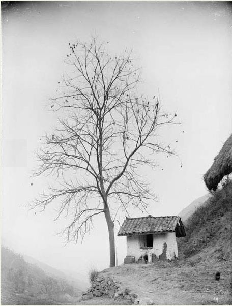 Botanical - Photo - Tree - Firmiana simplex China