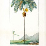 Botanical - Tree - Arec (Palm)