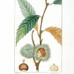 Botanical - Tree - Chestnut