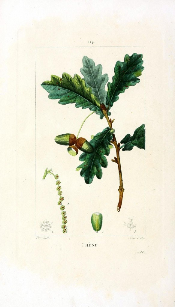 Botanical - Tree - Oak with acorn