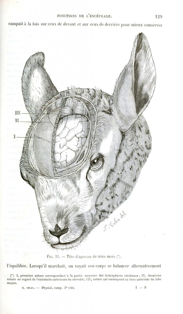 Animal - Animal head - Lamb with brain exposed