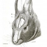 Animal - Animal head - Rabbit with brain exposed