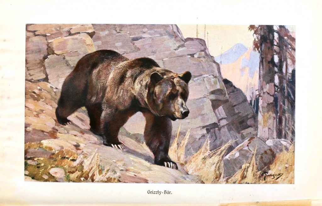 Animal - Bear - Grizzly bear 2