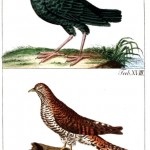 Animal - Bird - German 7