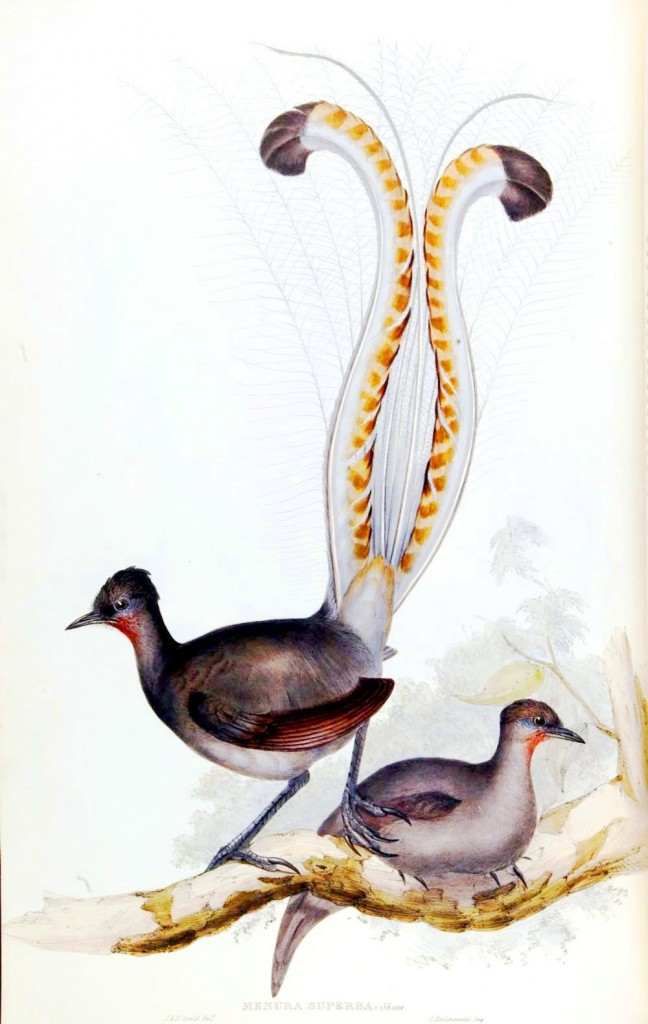 Animal - Bird - Lyre bird (2)
