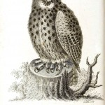 Animal - Bird - Owl 1808 - Athenian Horned Owl