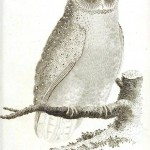 Animal - Bird - Owl 1808 - Barn Owl