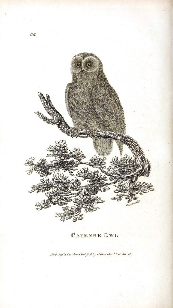 Animal - Bird - Owl 1808 - Cayenne owl