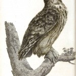 Animal - Bird - Owl 1808 - Great Horned Owl