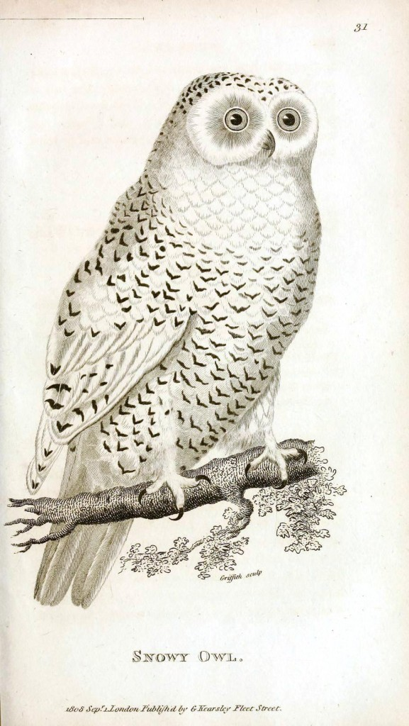 Animal - Bird - Owl 1808 - Snowy Owl