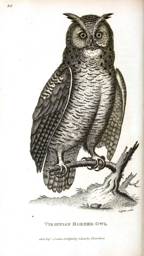 Animal - Bird - Owl 1808 - Virginian Horned Owl