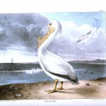 Animal - Bird - Pelican