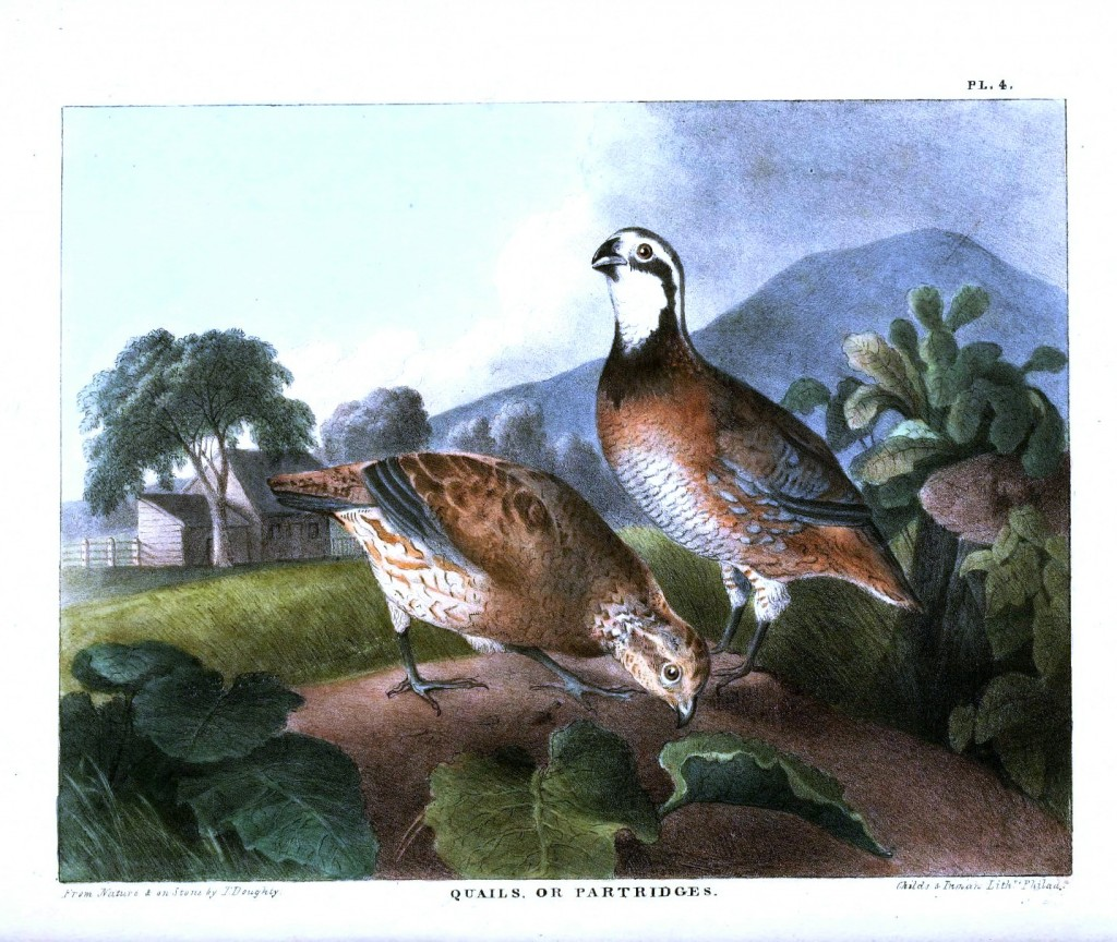 Animal - Bird - Quail or Partridge