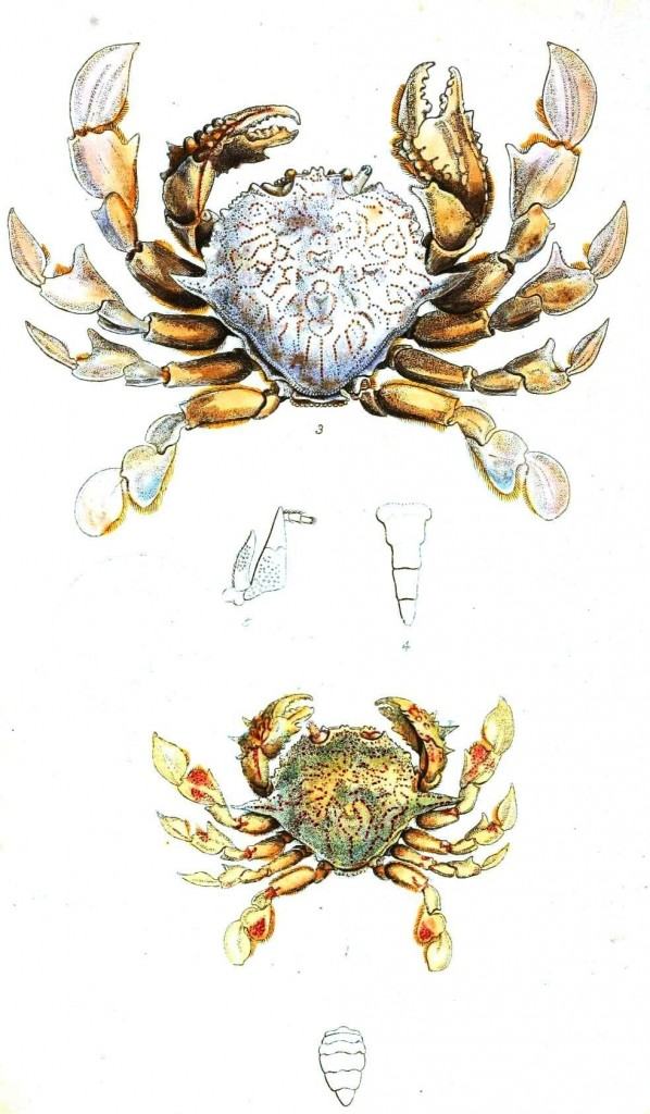 Animal - Crustacean - Rock crab
