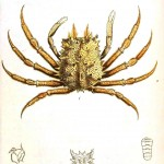 Animal - Crustacean - White crab