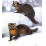 Animal - Dog - Fox - Foxes in the snow