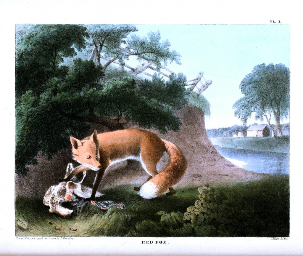 Animal - Dog - Fox - Red Fox