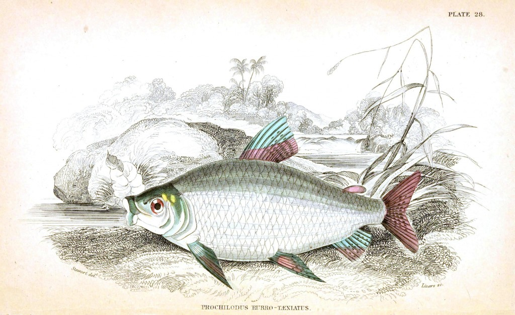 Animal - Fish - Fishes of Guiana 10