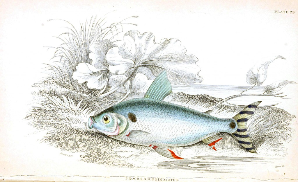 Animal - Fish - Fishes of Guiana 11