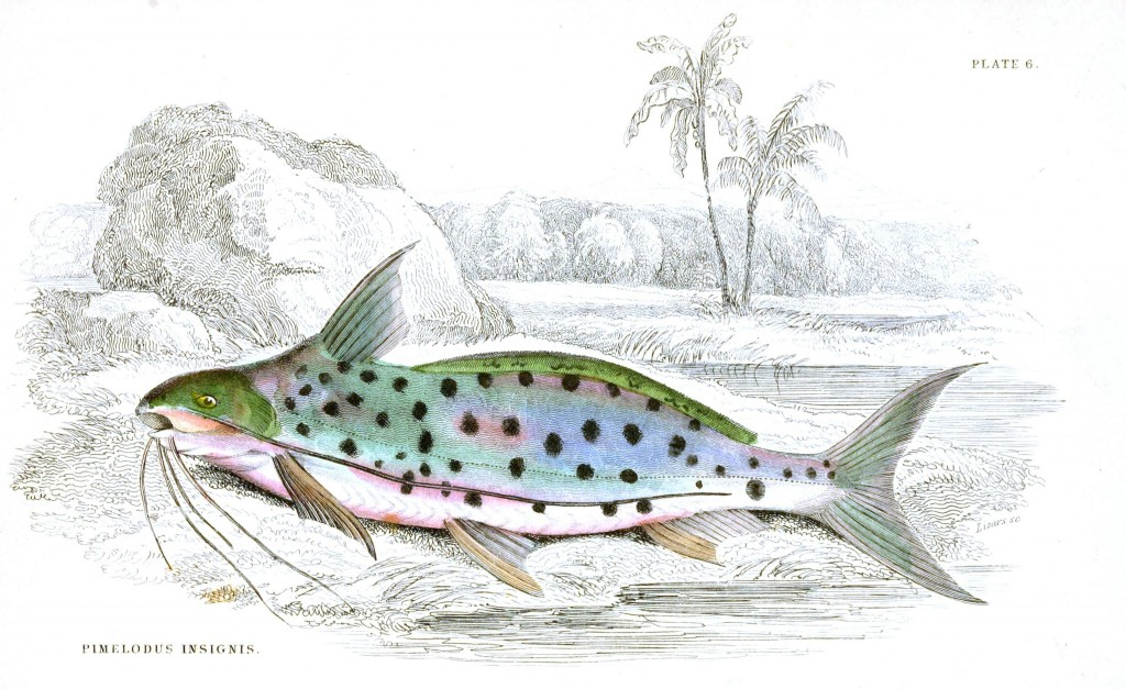 Animal - Fish - Fishes of Guiana 12