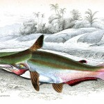 Animal - Fish - Fishes of Guiana 15